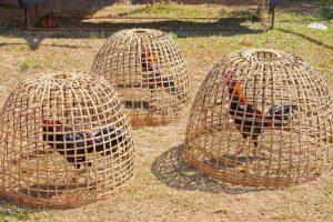 cages à coqs indonésie