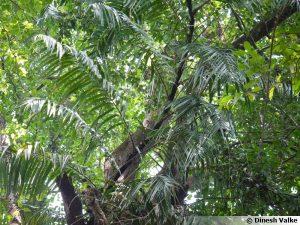 le palmier grimpant